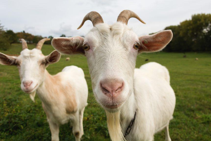 Hey, Democrats! Scapegoating progressives won't get votes for Biden. (Photo of goats).